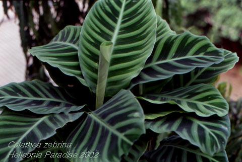 La calathea for Maranta pianta